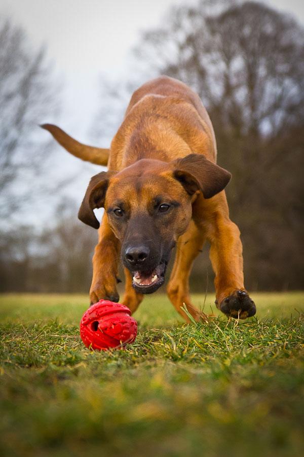 Hundespielplatz brauner Hund Spielzeug